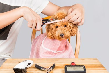 Concept of poodle dog fur being cut and groomed