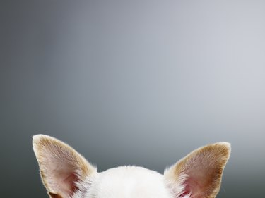 White Chihuahua ears, close-up, high section