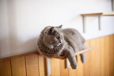 Gray cat on a shelf