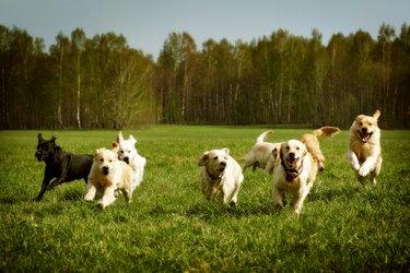 Large group of golden retrievers running