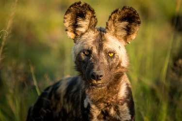 Starring African wild dog in the Kruger National Park
