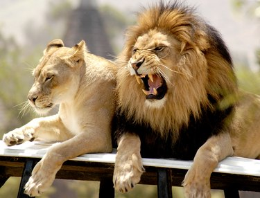 Make lion roars dissatisfaction at his lioness.