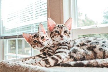 Bengal Kittens Looking At Camera