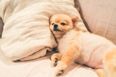 Cute pomeranian dog sleeping on pillow on bed