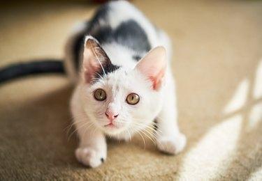 Kitten looks up playfully