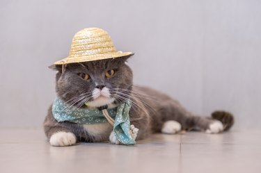 British short hair cat wears a hat