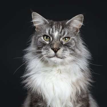 Head shot of handsome adult senior Maine Coon cat sitting facing front isolated on black background looking straight in lens