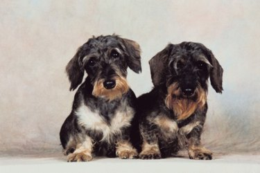 Two small dogs side by side