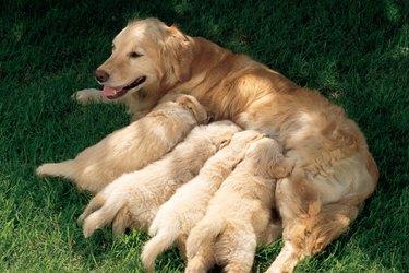 A golden retriever mother with 4 nursing puppies