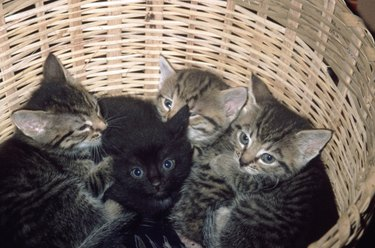 4 kittens in a basket
