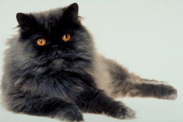 A fluffy gray cat.