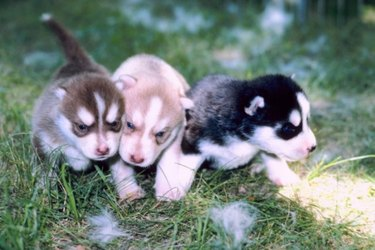Three differently colored Siberian husky puppies