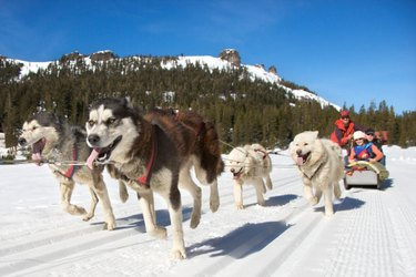 Siberian huskies working on a sled team