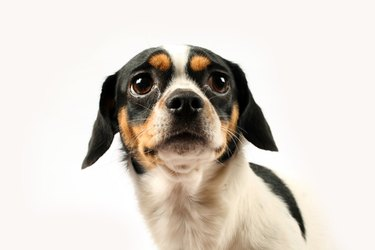 Fearful small dog on white background