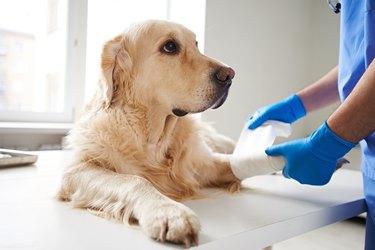 veterinarian bandaging injured dog