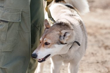 laika on the leash near the owner