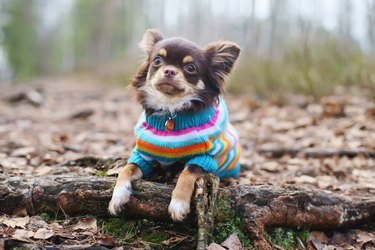 Chihuahua dog in knitted sweater lying down on tree roots