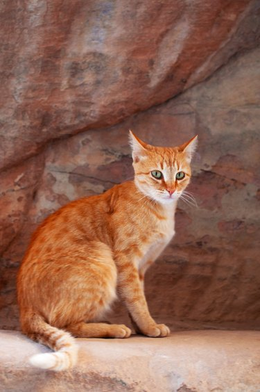 Petra: a cat on the red rocks seen walking in the canyon of the Siq, the Shaft, the main entrance to the archaeological Nabataean city of Petra