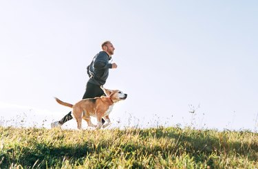 Man runs with his beagle dog. Morning Canicross exercise.