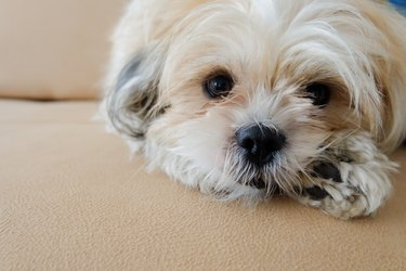 Shih Tzu sits on a tan couch