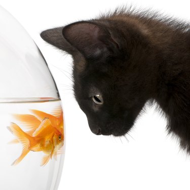 Black cat stares at goldfish in bowl