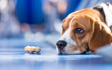 Sad looking beagle Dog with a chew bone