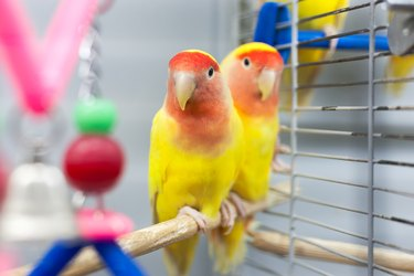 two colorfull lovebirds. red and yellow colors. troplical pets.