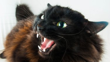 black cat hissing angrily