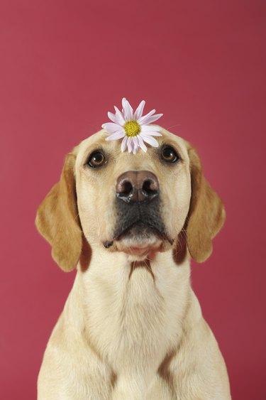 Labrador Retriever, yellow, bitch, with flower on her head, Austria