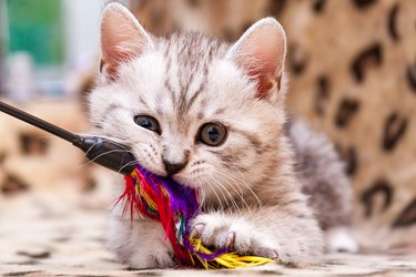 Kitten playing with feather wand - small British kitten gray white color chews cat toy