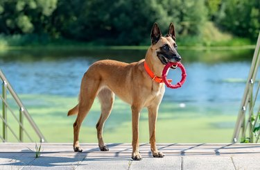 Malinois on the stairs by the pond