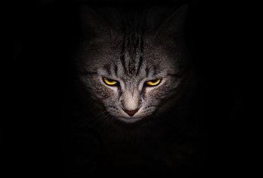Muzzle and bright yellow eyes cat stares menacingly out of the darkness, on a black background.