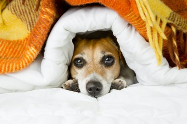 Cute dog peeking out from under the soft warm blanket.