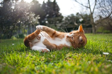 Ginger cat playing in the grass