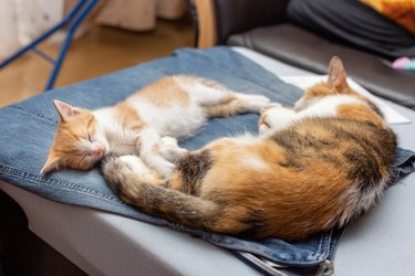 Calico mom cat with cute red and white kitten sleeping on denim skirt mistress