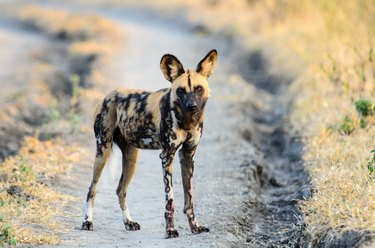 African Wild Dog watching proceedings closely