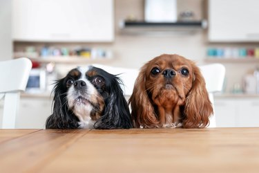 Two dogs behind the table