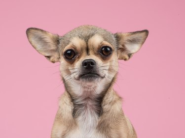 Close-Up Portrait Of Chihuahua Against Pink Background