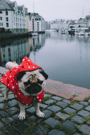 Dog in raincoat meets autumn in Alesund, Norway