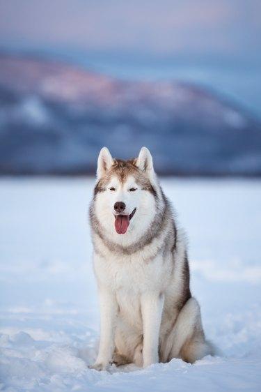 Beautiful and prideful siberian husky dog sitting in the snow field in winter