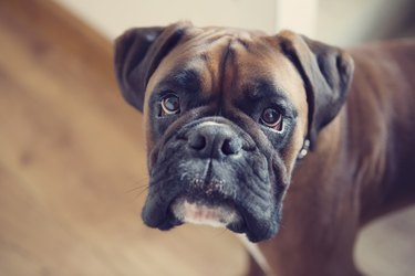 Boxer dog indoors, with direct eye contact
