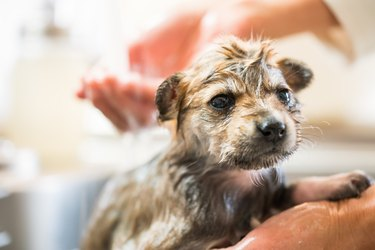 A puppy getting dried off after taking a bath in the kitchen sink