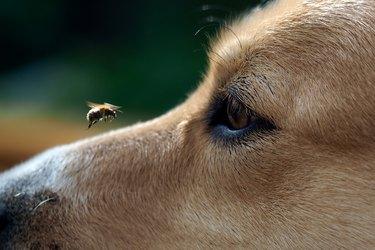 Big Eye dog and flying bee