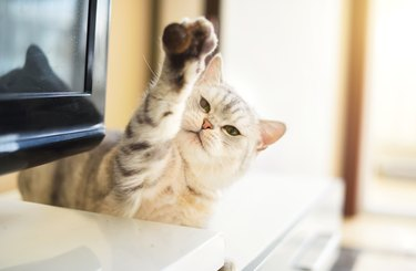 cat holding paw up