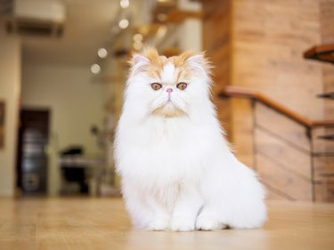 Portrait of exotic long hair yellow cat sitting on the wood floor and looking at camera with round eyes.