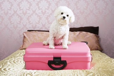 Dog Sitting on pink Suitcase on bed