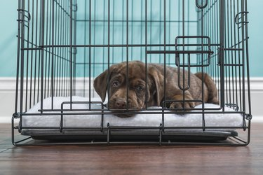 Chocolate Labrador Puppy lying down in a wire crate- 7 weeks old