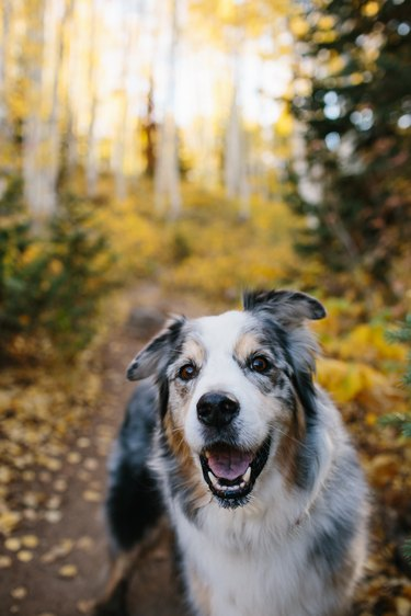 dog smiling in aspen forest