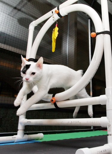Purebred Felines Take The Stage For Annual Cat Championships