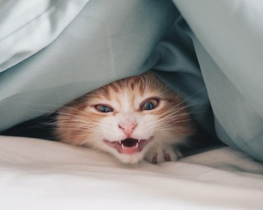 Close-Up Portrait Of Cat Meowing Under Blanket On Bed